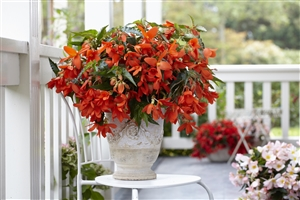 03 3 Begonia Encanto Orange