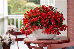 02 2 Begonia Encanto Red