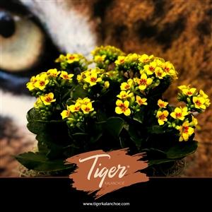 SlijkermanKalanchoe Tiger folder 2020 digi 1