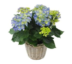 Hortensia indoor blauw 14 cm incl. rieten mand Van den Berg Est