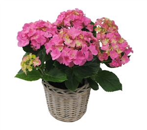 Hortensia indoor roze 14 cm incl. rieten mand Van den Berg Est