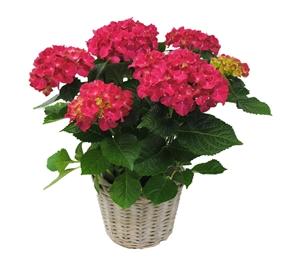 Hortensia indoor rood 14 cm incl. rieten mand Van den Berg Est