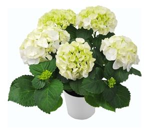 Hortensia indoor wit 14 cm incl. witte overpot Van den Berg Est