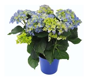 Hortensia indoor blauw 14 cm incl. blauwe overpot Van den Berg Est