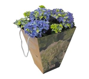 Hortensia indoor blauw 14 cm incl. kadotas Van den Berg Est