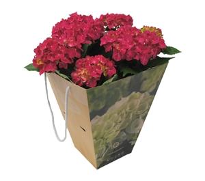 Hortensia indoor rood 14 cm incl. kadotas Van den Berg Est