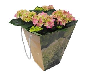 Hortensia indoor rose 14 cm incl. kadotas Van den Berg Est