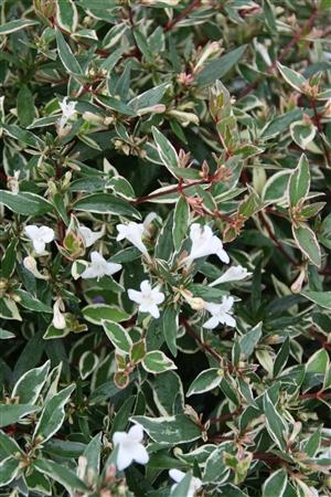 Abelia grandiflora confetii Week 32 Bloem