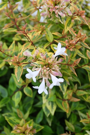 Abelia grandiflora Kaleidoscope Week 32 Bloem
