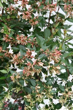 Abelia grandiflora Week 32 Bloem