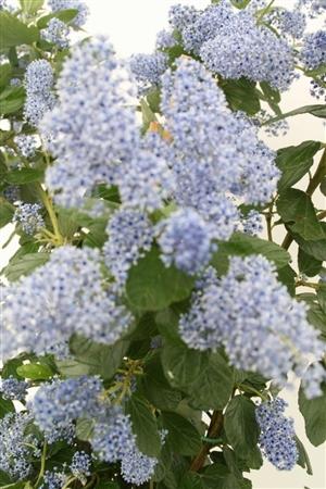 Ceanothus arboreus Trewithen Blue Week 16 Bloem