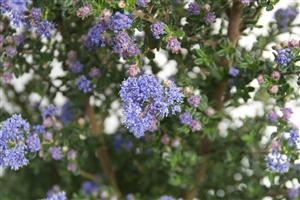 Ceanothus Puget Blue Week 16 Bloem