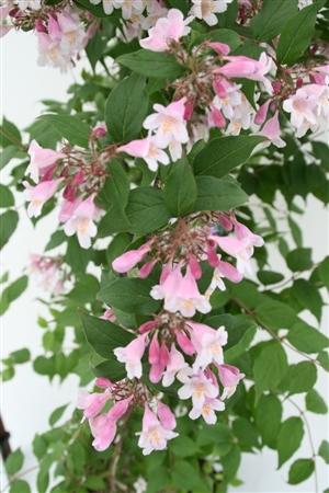 Kolkwitzia amabilis Pink Cloud Week 20 Bloem
