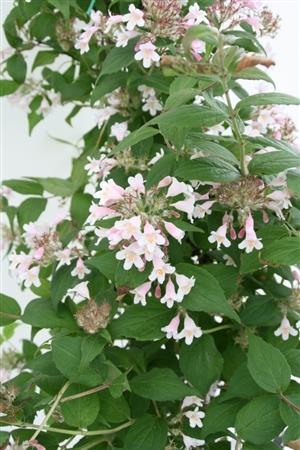 Kolkwitzia amabilis  Week 20 Bloem