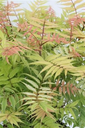 Sorbaria sorbifolia Sem Week 20 Bloem