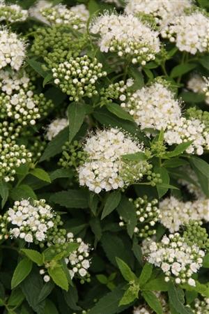 Spiraea japonica Albiflora Week 34 Bloem2