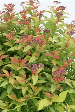 Spiraea japonica Goldflame Week 32 Bloem