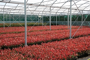 Photinia Little Red Robin