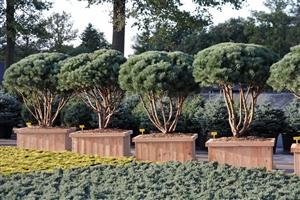 Pinus sylvestris Watereri schm150175 W110 (6)