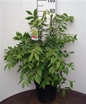 Euonymus alatus C7,5 (4)