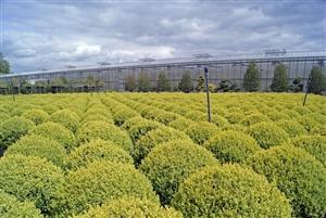 Buxus sempervirens (101)