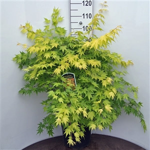 Acer pal. 'Orange Dream' C12 (1)