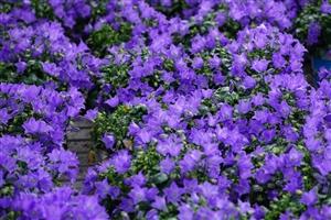 Campanula Spring Bell Blauw