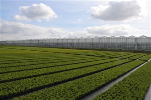 Container veld Ilex crenata Dark Green