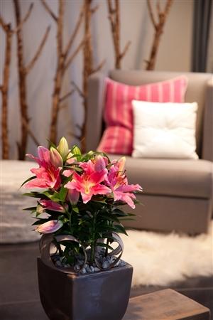 Lilium Oriental Reeleeze