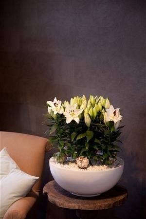 Lilium Oriental Oxygen