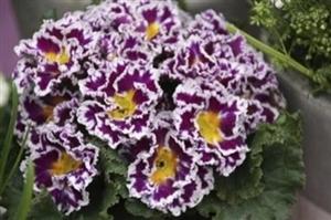 Sirococco Lilac