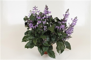 Plectranthus Green Purple