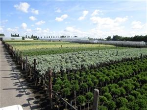 Salix assortiment