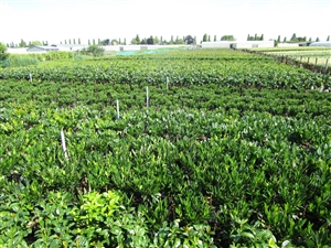 Prunus laurens assortiment
