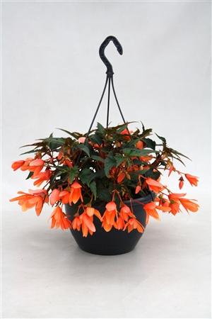 P27BBP Begonia Beauvilia Peach