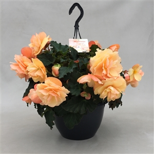 P27BFF Begonia Fragnant Falls Geurend Orange