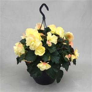 P27BFFL Begonia Fragnant Falls Geurend Lemon