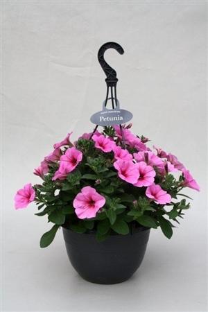 P27PIP Petunia Plus Pinkalicius