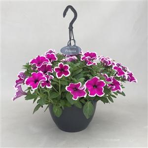 P27PPP Petunia Purple Picotee