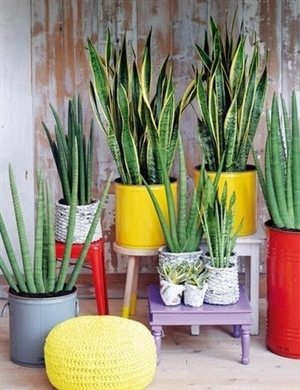 Sansevieria mix in mooie pot