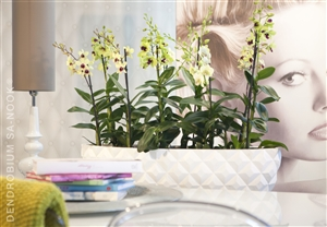 Dendrobium Sa nook Arrangement 001