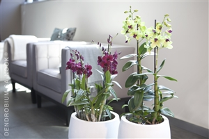 Dendrobium Sa nook Arrangement 004