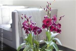 Dendrobium Sa nook Arrangement 005