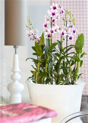 Dendrobium Sa nook Arrangement 006