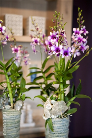 Dendrobium Sa nook Arrangement 008