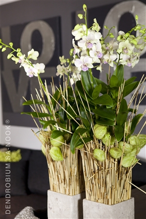 Dendrobium Sa nook Arrangement 010