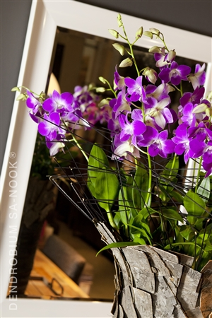 Dendrobium Sa nook Arrangement 012