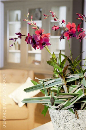 Dendrobium Sa nook Arrangement 014