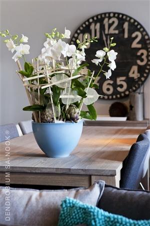 Dendrobium Sa nook Arrangement 015