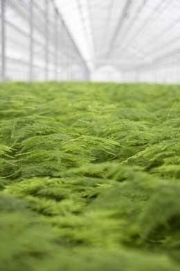Productie Asparagus 'Plumosus'